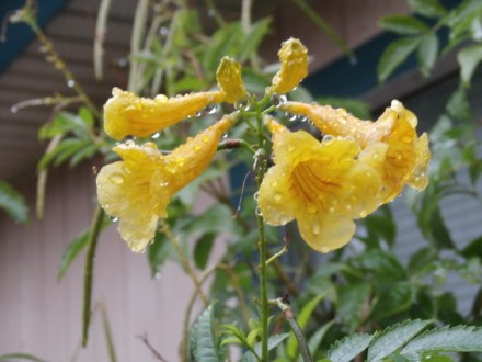 It rained this weekend - and our Esperanza became like a crystal gem with the water droplets.