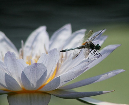 dragonfly water lily